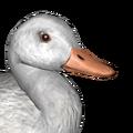 American black duck male albino