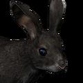 Cottontail rabbit male melanistic