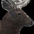 Rocky mountain elk male melanistic