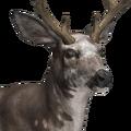 Mule deer male piebald