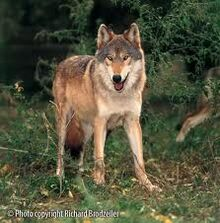 Ember in wolf form