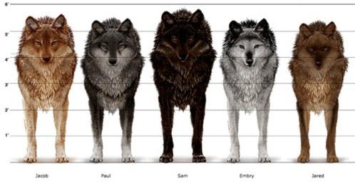Wolf Dog Hybrid Size Black Wolf Hybrid Size Wolves