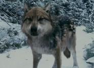 Seth wolf