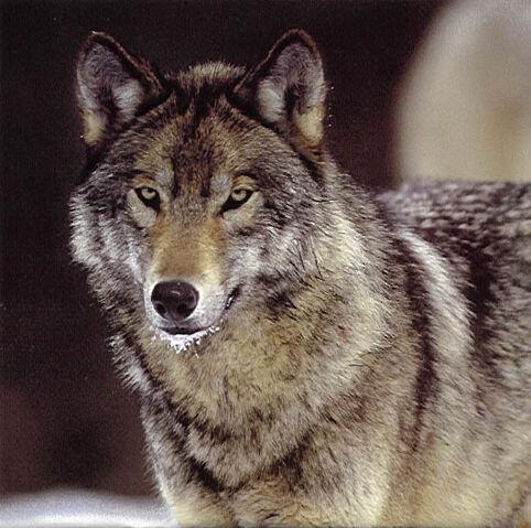 File:Wolf(a).jpg