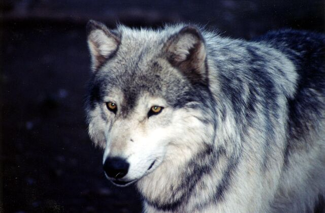 File:Loup2.jpg