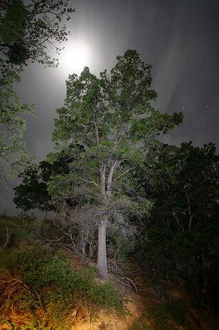 File:White Oak.jpg
