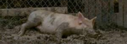 Violet, the pig