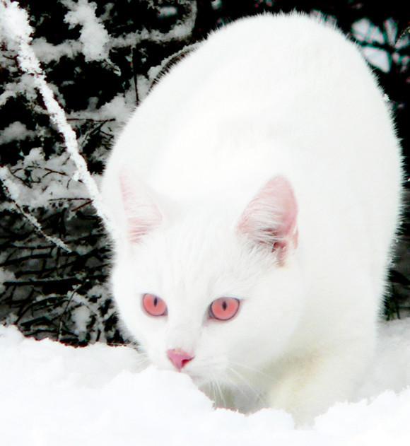 Siamese Cat Red Eyes