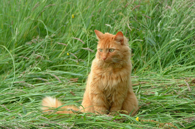 File:Ginger-cat-655.jpg