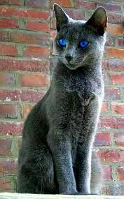 File:Dark gray cat with blue eyes.jpg