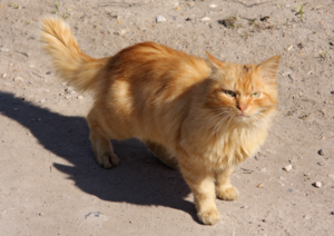 Red Cat in Torzhok City resize 2