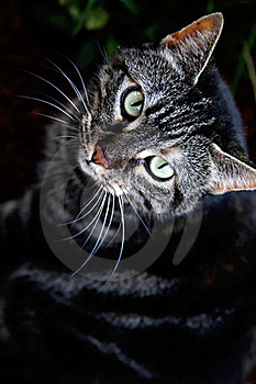 File:Black Tabby.jpg