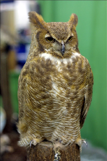 File:SpottedOwl.png