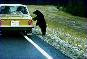 File:BearAskingDirections.jpg