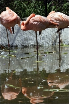 File:ThreeFlamingos.jpg
