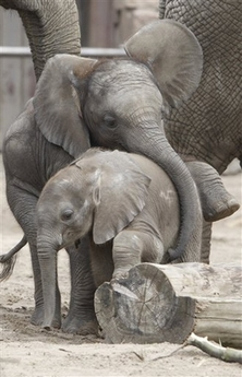 File:2BabyElephants.jpg