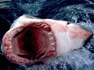File:Great White Shark, South Africa.jpg