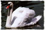 Cisne.jpg