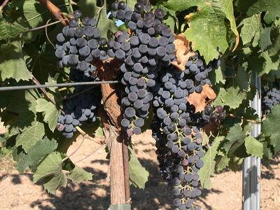 800px-Merlot Grape