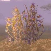Bruiseweed