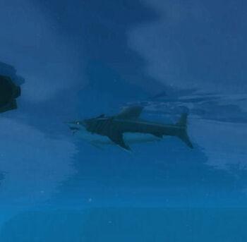 Daggertooth Shark