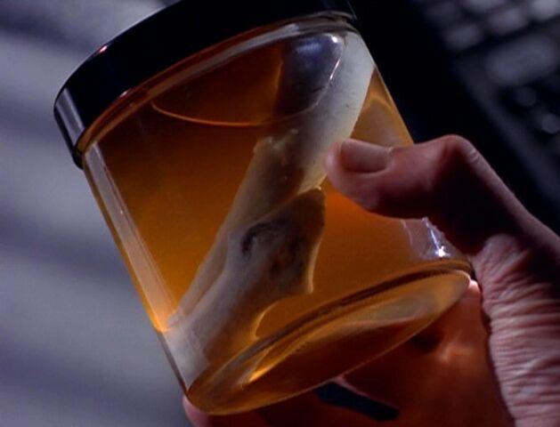 File:Flatworm in jar.jpg