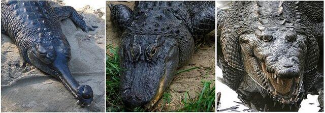 File:800px-Comparison - Crocodilia.jpg