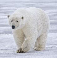 Polar Bear - Alaska (cropped)