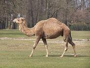 1280px-Camelus dromedarius at Tierpark Berlin (1)