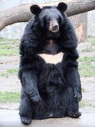 800px-Ursus thibetanus 3 (Wroclaw zoo)