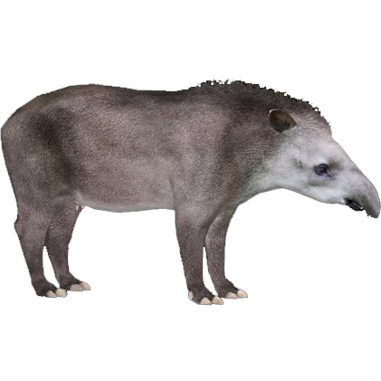 South American Tapir Maxforever Zt2 Download Library