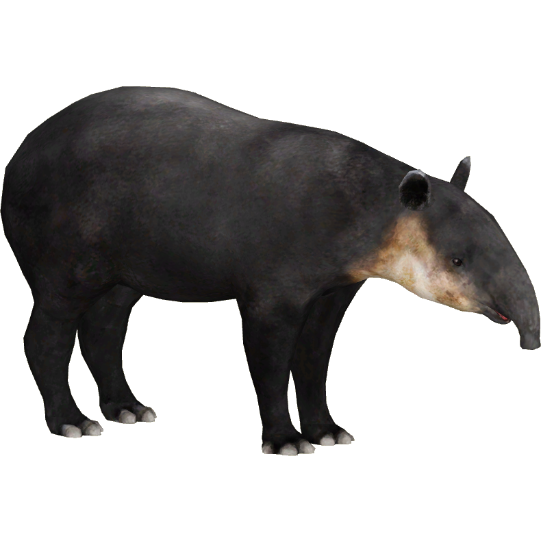 Baird S Tapir Dwyqyjt Zt2 Download Library Wiki