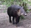 Tapir panamski