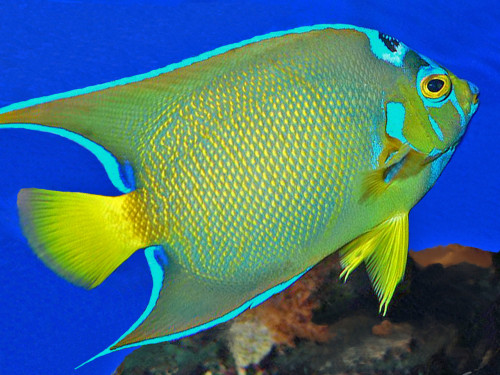 Queen angel abyssrium wikia fandom powered by wikia for Abyssrium hidden fish guide