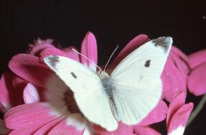 CommonButterflyIRL