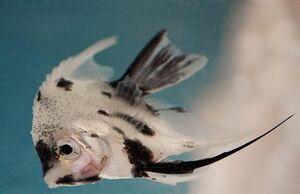 AngelfishIRL