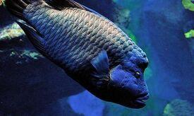 NapoleonfishIRL