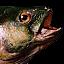 AoM Beta Fish Icon