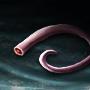 Boar Tail