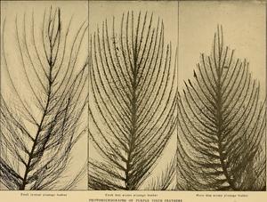 Bird lore (1903) (14564170619)