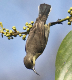 Ruby-cheeked Sunbird - Chalcoparia singalensis2.png