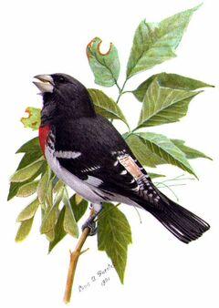 Pheucticus ludovicianusABP04CA