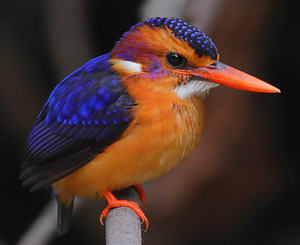 Flickr - Rainbirder - African pygmy-kingfisher (Ceyx pictus)
