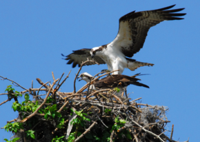 Osprey prepare to mate