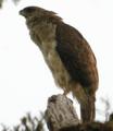 Papuan Eagle.png