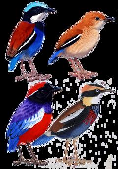 Pittidae diversity