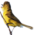 African Yellow-Warbler.png