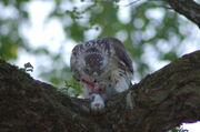 Red-tail having dinner