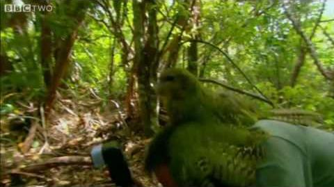 Shagged by a Kakapo