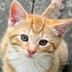 File:5963ginger-kitten-face (1).jpg